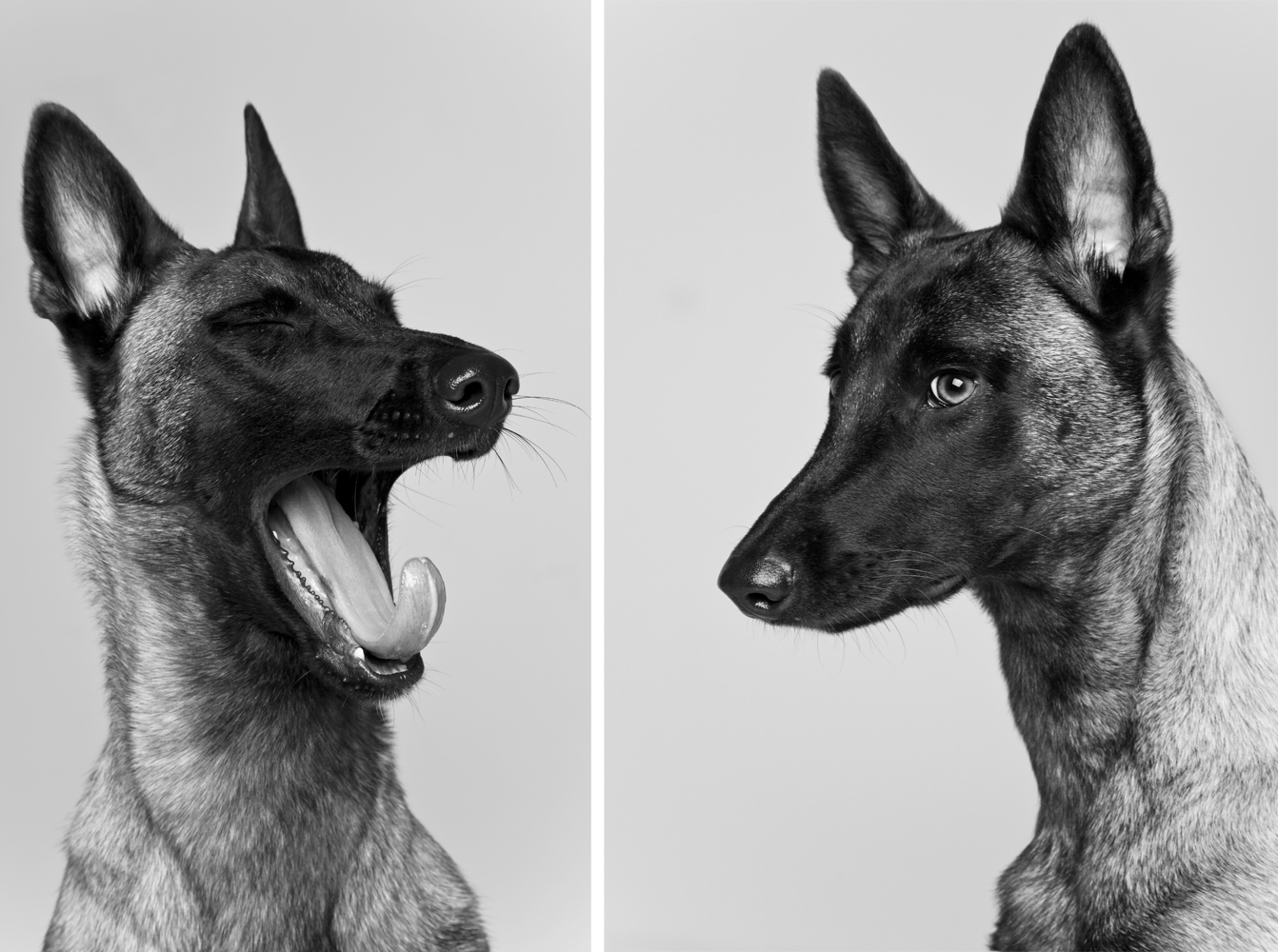 Hunde im Fotoatelier.